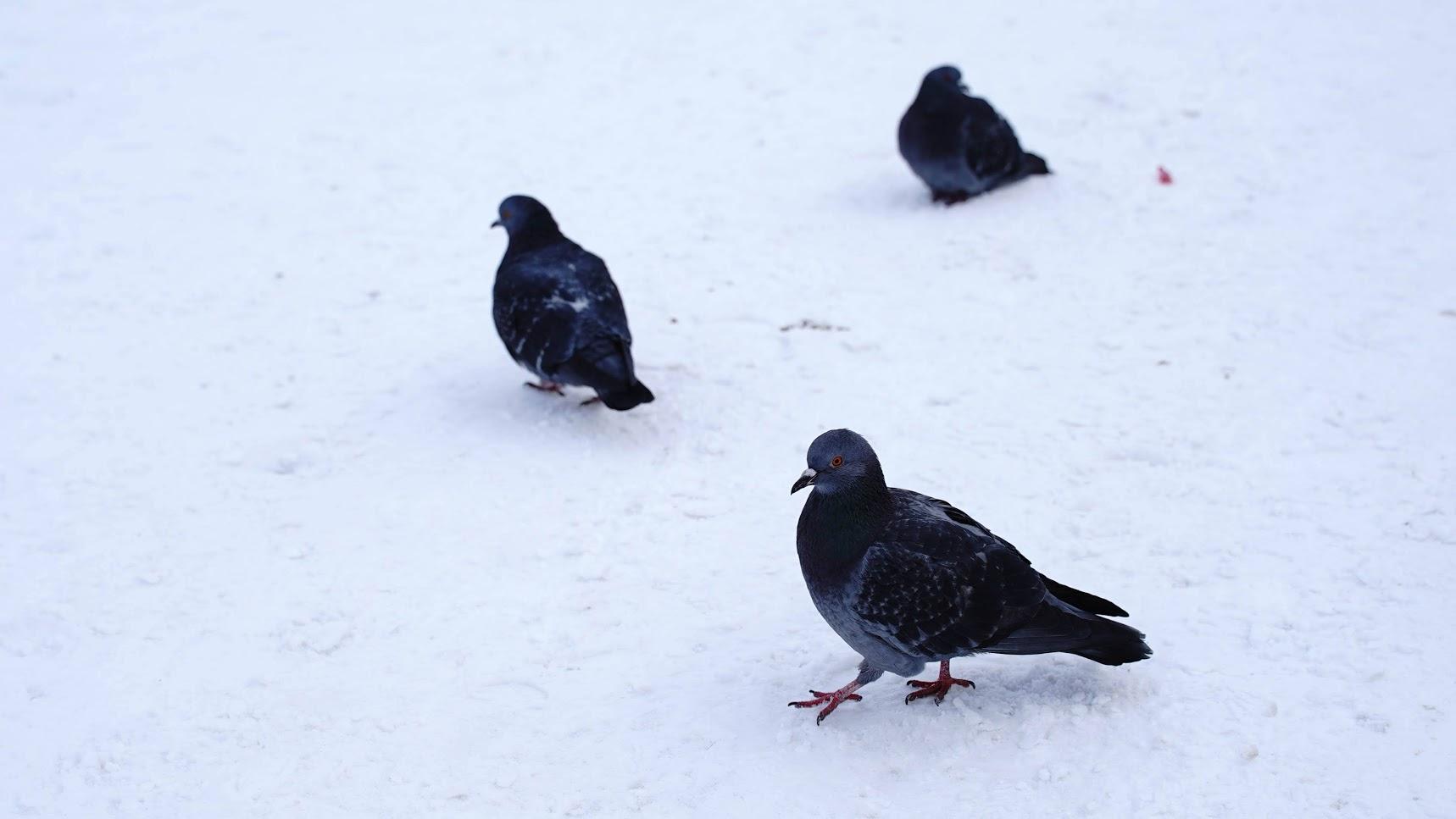 Голубиная перепись. Орнитологи ПГНИУ приглашают пермяков к исследованию городских птиц